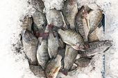 Aquaculture farm fresh black tilapia snapper fish chilled on ice for sale in market poster