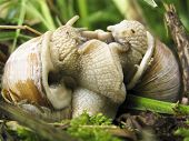 Burgundy snail Helix pomatia mating making love poster