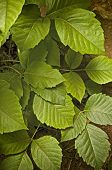 Poison Ivy (Toxicodendron radicans) close-up in wild poster