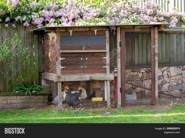 Chickens Backyard Coop Image Photo Free Trial Bigstock