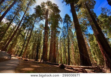 Looking Up At Sequoia Trees In Sequoia National Park