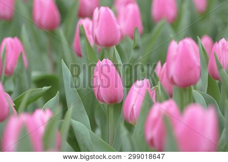 Pink Tulip Field At Flower Show Hk 2014