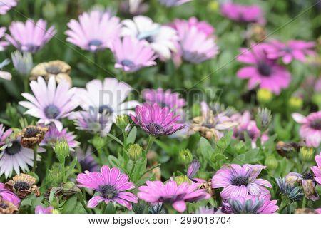 Beautiful Group Field Of Bloom Flowers Cosmos Bipinnatus