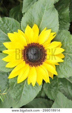 Beautiful Sunflower On Garden Nature Back Ground