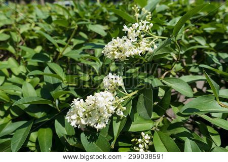 Ivory White Flowers Of Common Privet In Late Spring
