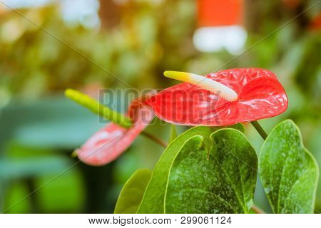 Close Up Of Anthurium Red Flamingo Flowers Or Boy Flowers Pigtail Anthurium In Botanic Garden (anthu