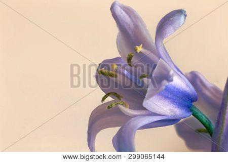 Macro photograph of a single flower on a Spanish bluebell, Hyacinthoides hispanica