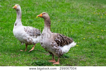 Geese In The Grass. Domestic Bird. Flock Of Geese. White Geese