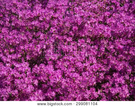 Pink Rhododendron. Floral Carpet Of Flowering Rhododendrons.