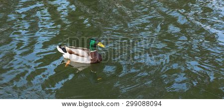 A Wild Duck Swims In A Pond. Waterfowl With Copispeys.