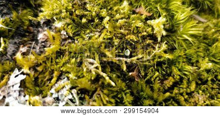 Moss On The Bark Of A Tree. Moss Grows On A Pine Tree.
