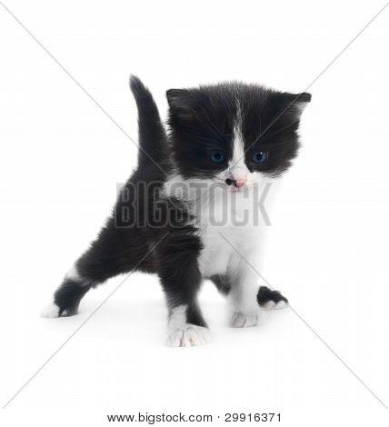 Kitten Isolated