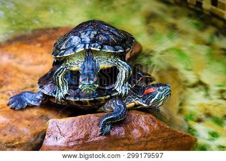 Turtles, Decorative Turtle - Trachemys Scripta Elegans. Background.