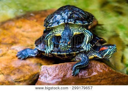 Red-eared Slider. Trachemys Scripta Elegans. Common Slider Turtle Wild Animal.