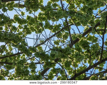 Elm Tree Seeds On A Tree Branch In The Spring With A Blue Sky, Shoots And Green Seeds Background, Fl