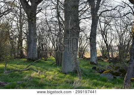 Old Oak Trees In A Forest By Early Springtime At The Swedish Island Oland