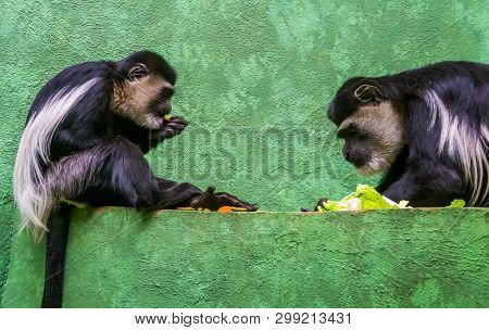 Two Abyssinian Black And White Colobuses Eating Food Together, Tropical Primates From Africa