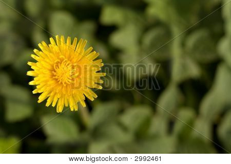 Bright Dandelion Flower With Copy-Space