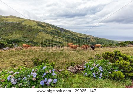 Cows Grazing Above Ponta Delgada On The Island Of Flores In The Azores.