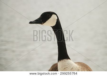 A Closeup Of A Goose Showing The Neck And Head.