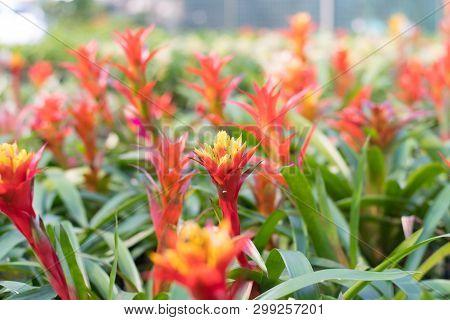 Bromeliad Flower Blooming In Nursery. Guzmania Bromeliad