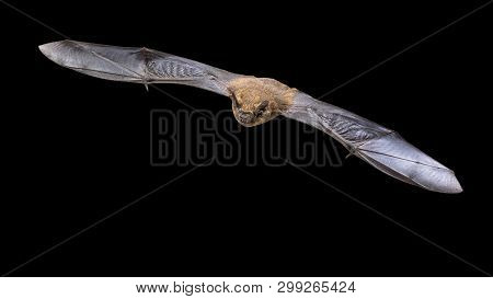 Flying Pipistrelle Bat (pipistrellus Pipistrellus) Action Shot Of Hunting Animal Isolated On Black B