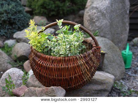 Herbs In Basket