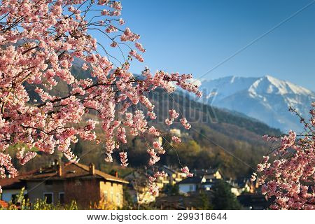 Sacura Blooming In Italy Against Snowy Peaks Of Alps. Focus On Flowers Over House