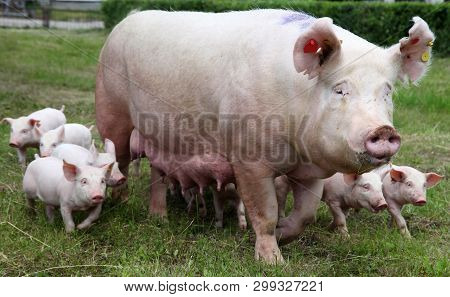 Group Photo Of Young Piglets Enjoying Sunshine On Green Grass Near The Farm