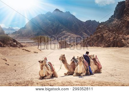 Camels Are In The Sinai Desert, Sharm El Sheikh, Sinai Peninsula, Egypt. Beautiful Sun Day Above Mou