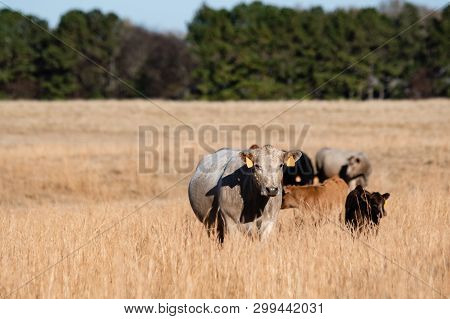 Mixed Breed Beef Cows And Calves In Tall, Dormant Grass Pasture With Negative Space To The Left.