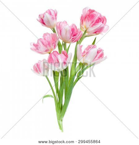 Bouquet of spring pink tulips flowers isolated on white background closeup. Flowers bunch in air, without shadow. Top view, flat lay.