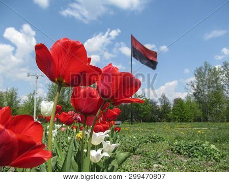 Red tulips close-up on a blurred background of the Right Sector flag in Sumy, Ukraine. The concept of the Ukrainian nationalist movement and Ukrainian independence movement, background with copy space poster