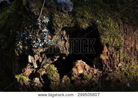 Mysterious Old Old Tree With A Dark Hole Covered With Green Moss Mysterious Atmosphere