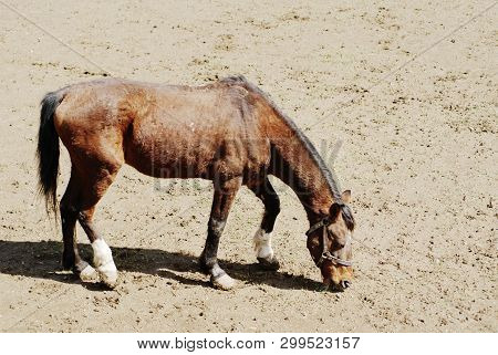 A hungry horse looking for some food.  Animals with no food. Hungry and unprotected animals. poster