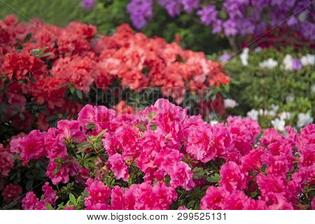 Colourful Beautiful Bright Pink Blooming Azalea Bushes Spring Background