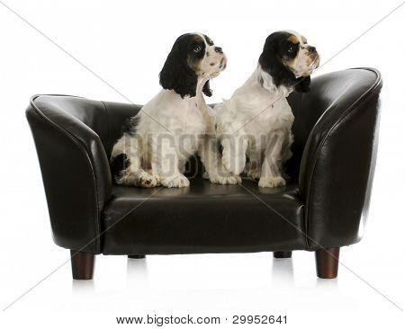 litter mates - two cute cocker spaniel puppies sitting on couch looking up