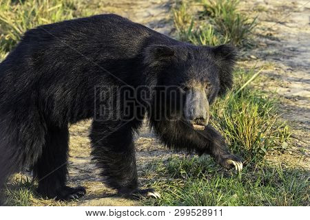 The Sloth Bear (melursus Ursinus) Is An Insectivorous Bear Species Native To The Indian Subcontinent