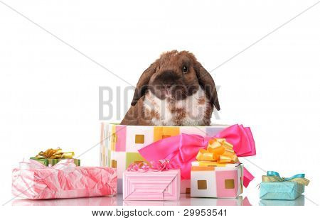 Lop-eared rabbit in a gift box with pink bow isolated on white poster