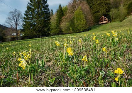 Field Of Yellow Cowslip Flowers On Mountain