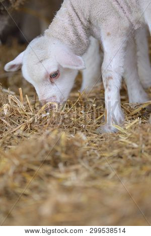 Young Baby Lamb On The Farm, Close Up