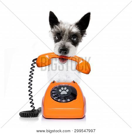 Poodle Terrie Dog  As Secretary Or Operator With R Old  Dial Telephone Or Retro Classic Phone
