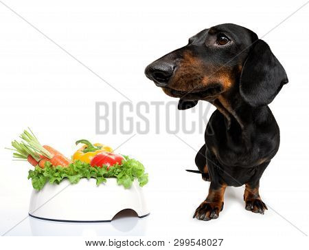 Hungry Dachshund Sausage Dog  With  Healthy  Vegan Or Vegetarian Food Bowl, Isolated On White Backgr