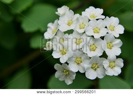 Spring; White Tiny Flowers, A Caprice Of Nature