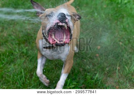 Amstaff Is Playing With Water From A Garden Hose. Dog Mops And Merry Jumps On The Green Spring Lawn.