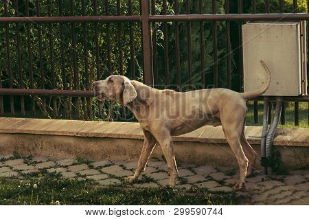 Photo of beautiful pedigreed Weimaraner dog  (male) with tail up - barking and defending his area (home protection. Brown Weimar dog standing in the garden - posing and looking to camera on sunny day. poster