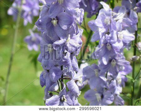Close Up Of Violet Flowers ( Delphinium Elatum, Alpine Delphinium, Candle Larkspur ) Blooming In The