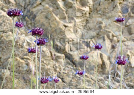 Chia, Salvia Columbariae