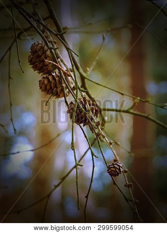 Close Up Of Small Pine Cones In Nature Reserve