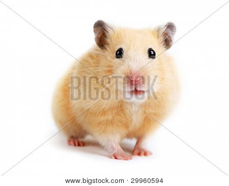 Hamster isolated